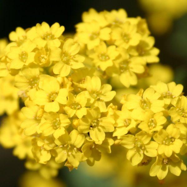 10 تا از بهترین گلهای برای زنبورها | گلهای مناسب برای زنبورها
