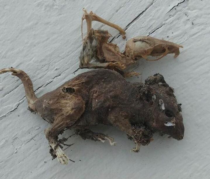 موش مومیایی شده با بره موم توسط زنبورها