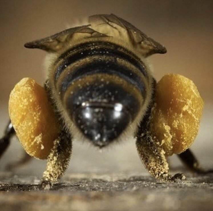 زنبوری با گرده گل