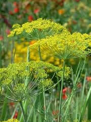 گیاه و گل شوید