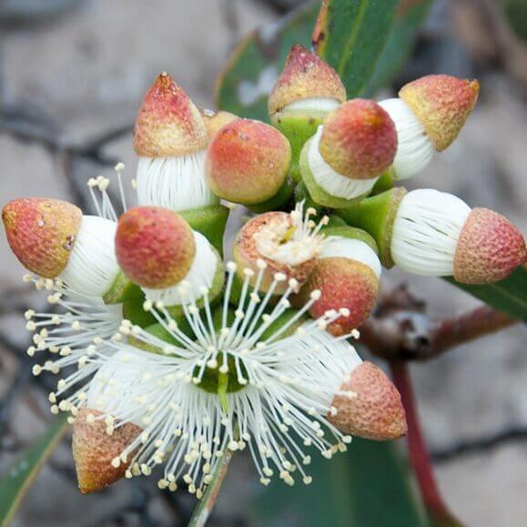 گل اکالیپتوس