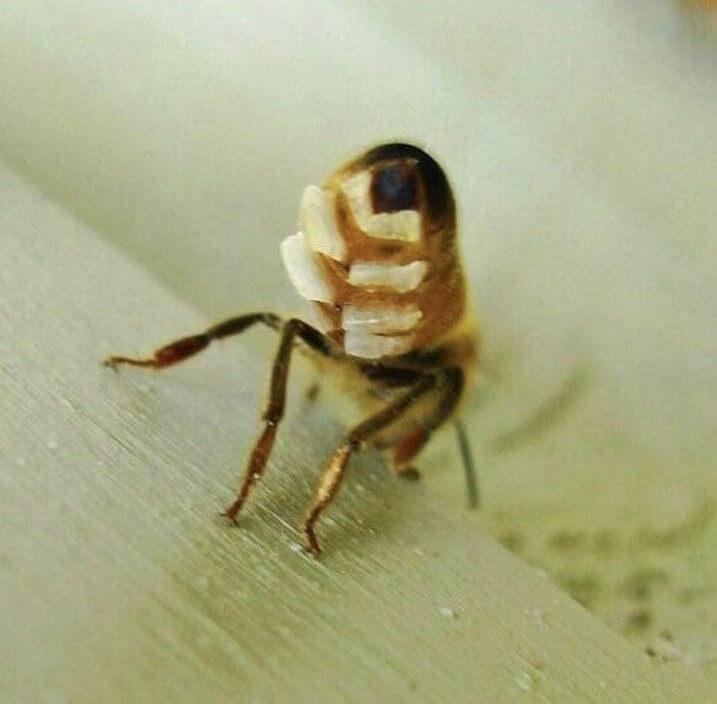 تولید موم توسط زنبور عسل