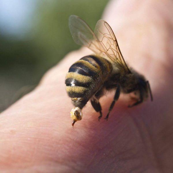 نیش زنبور | فرار از زنبورهای کشنده | درمان نیش خوردگی | فرار از نیش زنبورها | زنبورهای قاتل | سفیدانه