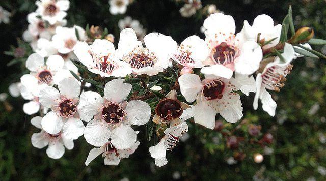گل مانوکا که از آن عسل مانوکا برداشت میشود